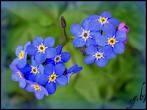 myosotis bleu.jpg